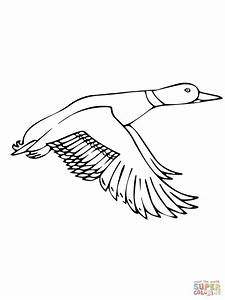 Duck Coloring Pages Flying Mallard Page Grig3org