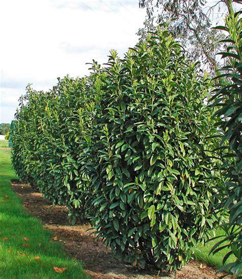 kirschlorbeer im herbst pflanzen s 228 ulen kirschlorbeer genolia 1a pflanzen kaufen baldur garten