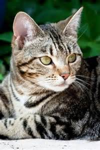 tabby cat names 25 best ideas about tabby cats on tabby cat