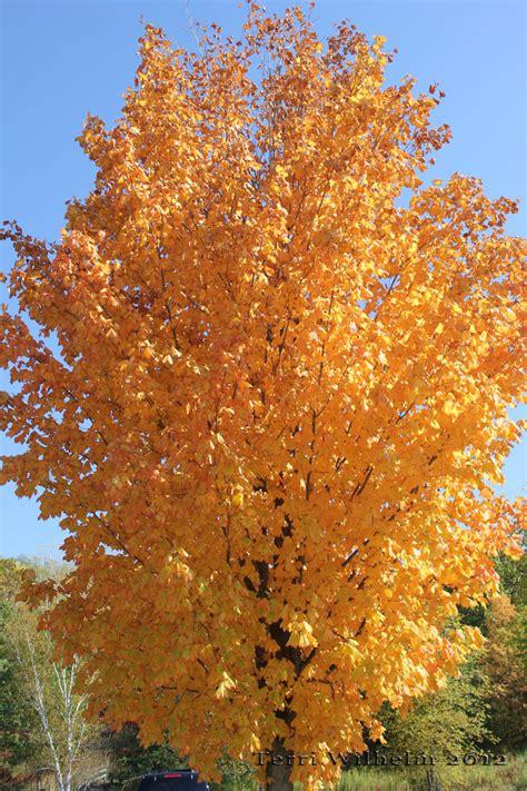 sweet gum tree sweet gum trees