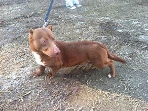 This Pitbull-Dachshund Is The Weirdest Crossbreed We've ...