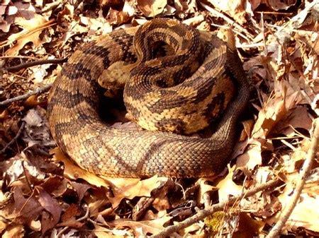 timber rattlesnake outdoor alabama
