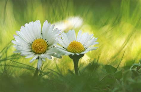 gaensebluemchen bisschen wild forum fuer naturfotografen