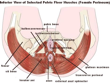 Muscles Of The Pelvic Floor In by Topics