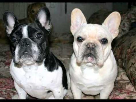 baixinho bulldog frances  french bulldog le