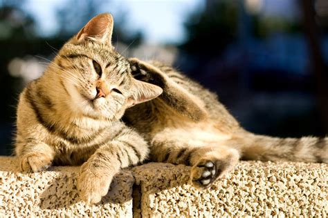 cat tick kitten cats remove its fur scratching tabby omlet guide removing