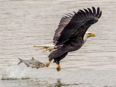 bald eagle catching fish lightning attack desktop