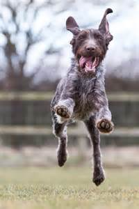1000 images about german wirehair pointers on pinterest
