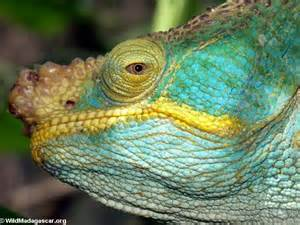 Chameleon Madagascar Animals