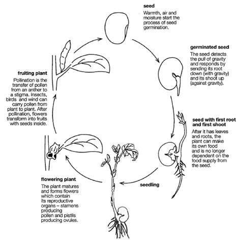 cycle of a bean plant worksheet worksheets for all