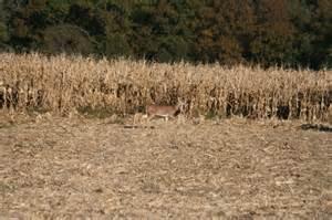 Whitetail Deer Food Plot Corn