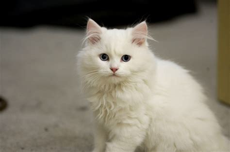 Cymric Cat Info, History, Personality, Kittens, Diet, Pictures
