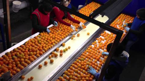 culle on line fruit grading and cull line
