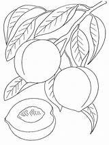 Peach Coloring Fruits Printable Recommended Colors sketch template