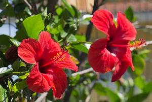 Taille De L Hibiscus : hibiscus plantation taille bouturage jardin23 ~ Melissatoandfro.com Idées de Décoration