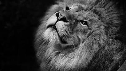 Lion 4k Monochrome Wallpapers 1080 1440 1920