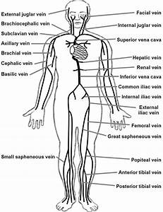 Labeled Diagram Of The Lymphatic System