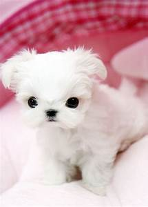 Adorable teacup maltese puppy | this tiny teacup maltese ...
