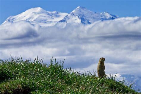 wildlife viewing denali national park preserve