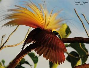 Greater Bird Of Paradise Paradisaea Apoda An Adult Male