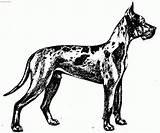 Dane Coloring Dog Dogge Deutsche Standard Template Popular Library Clipart Coloringhome Kresba sketch template