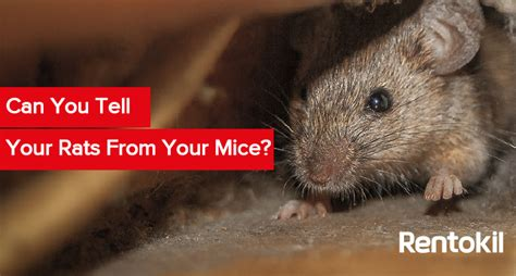 mice vs rats 10 facts you didn t know about rats