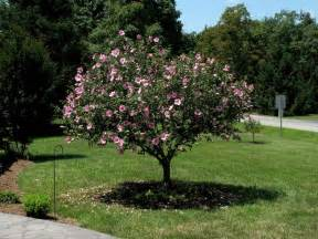 Rose Sharon Tree