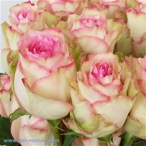 So Finden Sie Die Passende Rosensorte by Esperance In Rosa Aus Ecuador 20 St 252 Ck Blumen F 252 R