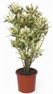 Arbuste D Intérieur : arbuste feuilles blanc vert frais tout ~ Premium-room.com Idées de Décoration