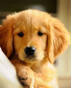 Puppy Love adorable puppy golden retriever digital ...