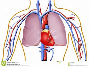 Human Heart And Lungs Stock Illustration  Illustration Of
