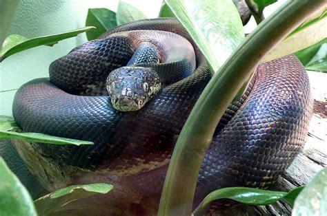 Savu python Liasis mackloti savuensis | Python, Animals ...
