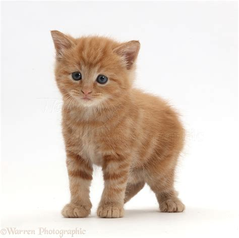 Ginger Kitten Photo Wp44272