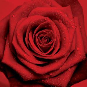 fiore la rosa la rosa un fiore leggendario e afrodisiaco oltre le colonne