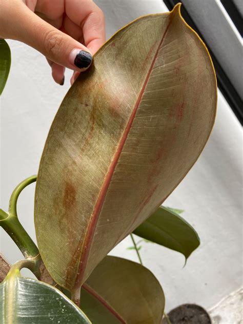 ทำไงดี ต้นยางอินเดียเหี่ยวใบร่วงใบเหลือง - Pantip