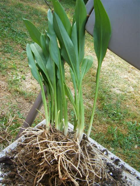 calla roots red dirt memories how to divide pot calla lilies other rhizome plants