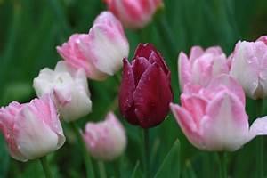 Tulpen Im Garten : tulpen pflege im garten ~ A.2002-acura-tl-radio.info Haus und Dekorationen