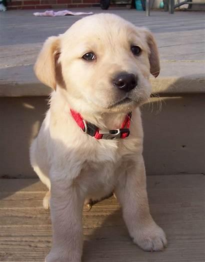 Puppy Collar Puppies Retriever Golden Gh Rescue
