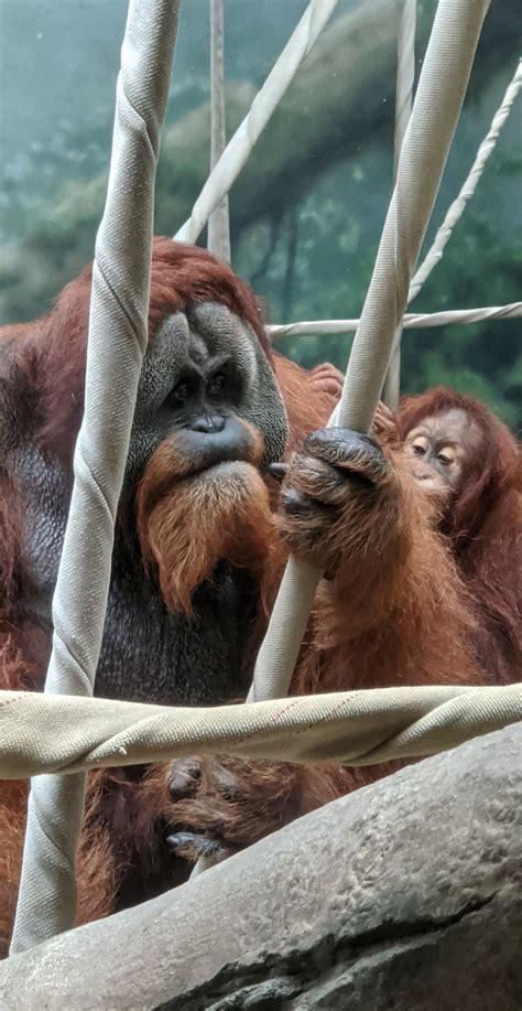 Orangutan at the Fort Wayne Zoo! 38 year old dad and 5 ...