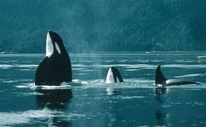 killer whales in the wild. | Orca, Killer Whale, Blackfish ...