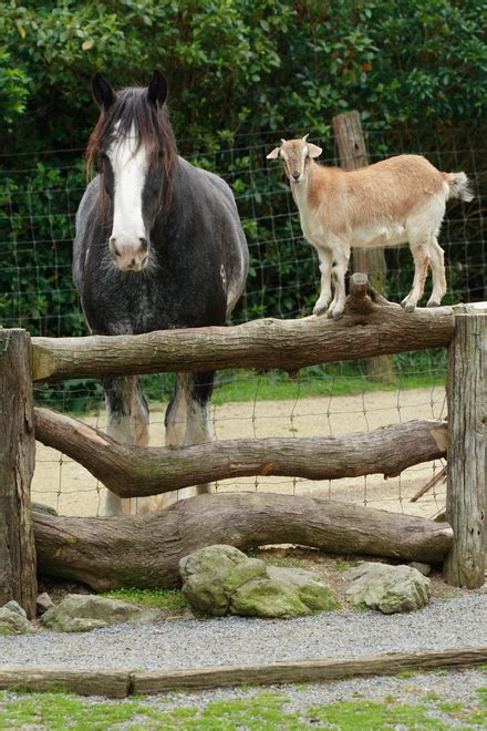 horse goat chatting fence human companions non companionship pal health equimed equine psyche barn preview