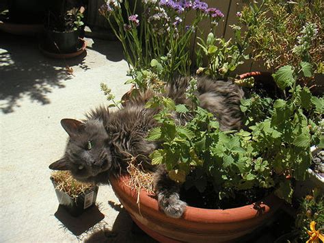 greybrother in the catnip garden flickr photo