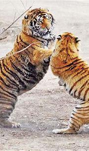 Wild tigers may vanish in 20 years - China.org.cn
