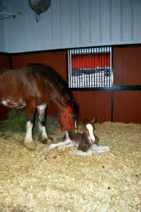 Budweiser Baby Clydesdale Horse