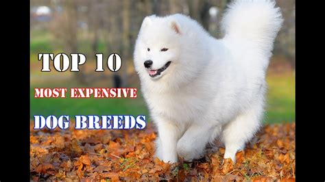 Top 10 Of The Most Expensive Dog Breeds In The World 2016