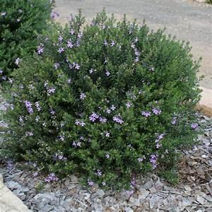 Westringia Fruticosa Blue Gem Coastal Rosemary1
