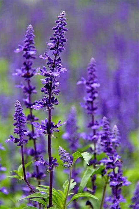 common perennial flowers salvia purple perennial flower mint family hardy common in utah comes in pink white and