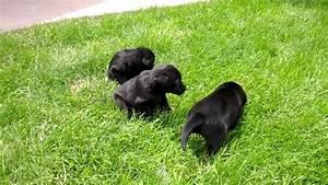 4 week old Black Lab Puppies - YouTube