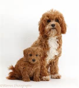 Adult Cavapoo Dogs