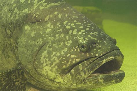 grouper goliath mero epinephelus pez guasa itajara wikipedia fish catch goliat como gordon conocido wiki 2009 florida planeta sonar juvenile